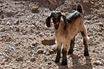 Afghanistan;Asia;Central_Asia;Afghan;goats;domestic_animals;fauna;farm_animals;livestock;mammals;Bamian;Bamiyan;Small_goat;Aqrabat_Valley