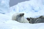 animals;_antarctic;_Antarctic_Peninsula;_Antarctica;_Argentine_Islands;_Crabeater_seals;_ecosystem;_environment;_fauna;_glacial;_ice;_landscapes;_Lobodon_carcinophagus;_mammals;_marine_life;_pinnipeds;_scenery;_scenic;_sea_life