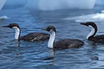 animals;_antarctic;_Antarctic_Peninsula;_Antarctic_shags;_Antarctica;_Argentine_Islands;_birds;_ecosystem;_environment;_fauna;_glacial;_ice;_landscapes;_ornithology;_Phalacrocorax_bransfieldensis;_scenery;_scenic