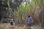 Barbados;Barbadian;Caribbean;Antilles;persons;people;West_Indies;Francia_Plantation;People;harvesting;sugar_cane