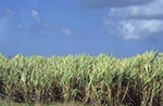Barbados;Barbadian;Caribbean;agriculture;agricultural;rural;countryside;farming;Antilles;West_Indies;Francia_Plantation;Sugar_cane;fields