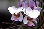 Barbados;Barbadian;Caribbean;Antilles;blooms;blossoms;botanical;botany;flora;flowers;Orchidaceae;plants;tropical;rain_forest;jungle;West_Indies;Andromeda_Gardens;White;orchid;flower;pink;centre
