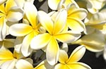 Barbados;Barbadian;Caribbean;West_Indies;Antilles;Andromeda_Gardens;White_Frangipani;Plumeria_alba