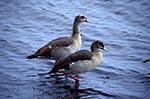 Africa;birds;ornithology;animals;fauna;Egyptian_Geese;goose;Alopochen_aegyptiaca;Chobe_National_Park;North_West_District;Botswana;Botswanan