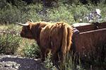 Canada;Canadian;North_America;cows;cattle;domestic_animals;fauna;farm_animals;livestock;mammals;Atlin;British_Columbia;Highland_cattle