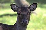 Canada;Canadian;North_America;deer;mammals;animals;fauna;Prairies;Grunthal;Manitoba;Mule_Deer