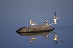 Canada;Canadian;North_America;birds;ornithology;animals;fauna;Prairies;Hecla;Provincial_Park;Manitoba;Little_Gulls;Larus_minutus
