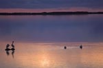 Canada;Canadian;North_America;birds;ornithology;animals;fauna;Prairies;Manitoba;Birds;Hecla_Lake;sunset