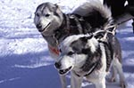 Canada;Canadian;North_America;Arctic;dogs;domestic_animals;fauna;Inuvik;mammals;North_West_Territories;Northwest_Territories;zoology;Sled_dogs