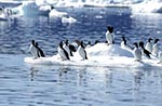 Canada;Canadian;North_America;animals;Arctic;birds;Digges_Island;ecosystem;environment;fauna;glacial;global_warming;ice;landscapes;Ledum_groenlandicum;Nunavut_Territory;ornithology;polar;scenery;scenic;Thick_billed_Murres;zoology