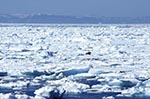 Canada;Canadian;North_America;Arctic;Davis_Strait;ecosystem;environment;glacial;global_warming;ice;icepack;landscapes;Nunavut;Nunavut_Territory;Odobenus_rosmarus;polar;scenery;scenic;Walrus