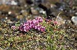 Canada;Canadian;North_America;Arctic;blooms;blossoms;botanical;botany;ecosystem;environment;flora;flowers;glacial;global_warming;High_Bluff_Island;ice;landscapes;Nunavut;Nunavut_Territory;plants;polar;Saxifrage;Saxifrage_oppositifolia;scenery;scenic;tundra
