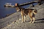 Canada;Canadian;North_America;Yukon;Arctic;Dawson_City;dogs;domestic_animals;fauna;Husky;mammals;Yukon;Yukon_Territory