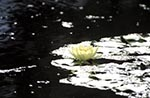 Africa;aquatic_plants;Atlantic;botanical;Botanical;botany;Canary_Islands;España;flora;garden;islands;Islas_Canarias;La_Orotava;Nymphaea_mexicana;Nymphaeaceae;plants;pond;Spain;Spanish;Tenerife;Water_lily;Yellow