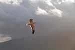 Chile;Chilean;South_America;Latin_America;Kelp_Gull;Larus_dominicanus;Estero_Elefantes;Aisen;Region;Biosphere_Reserve;birds;ornithology;animals;fauna;Patagonia;UNESCO