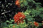 Cook_Islands;South_Pacific;Oceania;island;Polynesian;blooms;blossoms;botanical;botany;flora;flowers;flowers;blooms;blossoms;plants;tropical;Flamboyant_Tree;Rarotonga