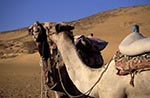 Egypt;Egyptian;Camels;Aswan;arid;camels;Camels;deserts;domestic_animals;fauna;mammals;Middle_East;Near_East;Nile;North_Africa;rivers;streams;water;Egypt