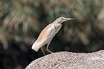 Egypt;Egyptian;Squacco_HeronArdeola_ralloides;First_Cataract_Islands;Protected_Area;Saluga;Ghazal;Aswan;arid;birds;ornithology;animals;fauna;deserts;Nile;North_Africa