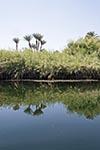 Egypt;Egyptian;Palm_trees;papyrus;plant;Nile_River;First_Cataract_Islands;Protected_Area;Saluga;Ghazal;Aswan;arid;deserts;Nile;North_Africa;plants;botany;botanical;flora;trees;plants;botany;botanical;flora