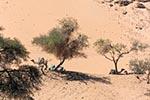 Egypt;Egyptian;Camels_resting;acacias;village;Nag_Gharb_Siheil;Aswan;arid;boats;camels;mammals;domestic_animals;fauna;deserts;deserts;arid;barren;Nile;North_Africa