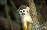 animals;apes;Devils_Island;fauna;French;French_Guiana;Ile_du_Diable;Iles_du_Salut;islands;mammals;monkeys;primates;prison;Samiri_scureus;South_America;Squirrel_Monkey;tropical;France;Guyane_française
