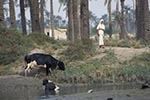 Iraq;Iraqi;Mesopotamia;Mesopotamian;Arvand;banks;cow;female;Iraqi;Middle_East;Near_East;people;Iraqis;Arabs;Arabic;person;persons;rivers;streams;water;Shatt_al_Arab;woman;women_