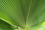 Martinique;Martiniquais;Martinican;Balata;Caribbean;West_Indies;Antilles;tropical;Palm;tree;Balata_Botanical_Gardens
