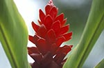 Martinique;Martiniquais;Martinican;Balata;Caribbean;West_Indies;Antilles;tropical;Red;Ginger;Alpinia;purpurata;Balata_Botanical_Gardens