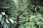 Martinique;Martiniquais;Martinican;La_Trace;Caribbean;West_Indies;Antilles;tropical;Tropical;vegetation;Route_de_la_Trace
