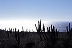 Mexico;Mexican;Latin_America;North_America;Central_America;botanical;botany;cacti;cactus;flora;Islands_and_Protected_Areas_Gulf_of_California;succulent_plants;UNESCO;World_Heritage_Site;Baja_California_Sur