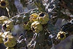 Mexico;Mexican;Latin_America;North_America;Central_America;Coahuila;Museo_del_Desierto;desert;botanical;botany;cacti;cactus;flora;museum;Prickly_pear;Saltillo;succulent_plants