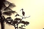 Mexico;Mexican;Latin_America;North_America;Central_America;animals;Barra_de_Cazones;Eudocimus_albus;fauna;Ibis;ornithology;sunset;Veracruz;birds
