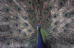 Mexico;Mexican;Latin_America;North_America;Central_America;animals;Catemaco;fauna;Indian_Peacock;ornithology;Pavo_cristatus;Veracruz;birds