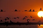 Namibia;Namibian;Africa;birds;ornithology;animals;fauna;birds;ornithology;animals;fauna;Walvis_Bay;Erongo;flamingo;Greater_Flamingo;Phoenicopterus_roseus;sunset