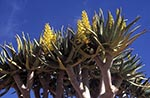 Namibia;Namibian;Africa;deserts;arid;barren;plants;botany;botanical;flora;Namib_Naukluft_Park;Hardap;Flowering;Quiver;tree;Kokerboom;Aloe;dichotoma