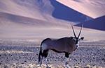 Africa;animals;antelopes;arid;barren;deserts;fauna;Gemsbok;Hardap;mammals;Namib_Sand_Sea;Namib_Naukluft;Namibia;Namibian;Oryx_gazella;Park;UNESCO;wildlife;World_Heritage_Site