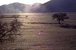 Acacia_erioloba;Africa;arid;barren;botanical;botany;Camel_Thorn;deserts;dunes;flora;Hardap;Namib_Sand_Sea;Namib_Naukluft_Park;Namibia;Namibian;plants;sand;Sossusvlei;sunset;tree;trees;UNESCO;World_Heritage_Site