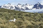 South_Georgia;Antarctic;Antarctica;sub_Antarctic;Albatross_Island;animals;birds;Diomedea_Exulans;ecosystem;environment;fauna;landscapes;nest;ornithology;polar;scenery;scenic;Wandering_albatross