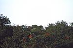 Trinidad_Tobago;Trinidad;island;South_America;Trinidadian;Caribbean;animals;Caroni;Caroni_Bird_Sanctuary;Caroni_Swamp_Bird_Sanctuary;fauna;islands;ornithology;Scarlet_Ibis_perched_in_trees;tropical;birds