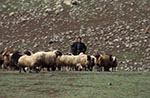 Turkey;Turkish;Asia;Europe;domestic_animals;farm_animals;fauna;livestock;male;mammals;man;men;people;Turks;person;persons;people;Turks;sheep;Agrı_Province;Agri;Shepherd;flock;sheep