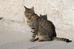 Aksaray;Asia;cats;_felines;_domestic_animals;_fauna;_mammals;Middle_East;Turkey;Turkish
