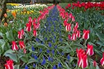 tulip_beds;garden;RoozenGaaarde;Mount_Vernon;Skagit_Valley;Washington;United_States;America;blooms;blossoms;botanical;botany;flora;flowers;gardens;Mount_Vernon;North_America;plants;Skagit_Valley;United_States;United_States_of_America;USA;Washington