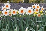 Daffodils;Chinese_Sacred_Lilies;Narcissus_tazetta;RoozenGaaarde;garden;Mount_Vernon;Skagit_Valley;Washington;United_States;America;blooms;blossoms;botanical;botany;flora;flowers;gardens;Mount_Vernon;North_America;plants;Skagit_Valley;United_States;United_States_of_America;USA;Washington