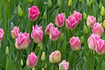 Ganders_Rhapsody;tulips;RoozenGaaarde;garden;Mount_Vernon;Skagit_Valley;Washington;United_States;America;blooms;blossoms;botanical;botany;flora;flowers;gardens;Mount_Vernon;North_America;plants;Skagit_Valley;United_States;United_States_of_America;USA;Washington